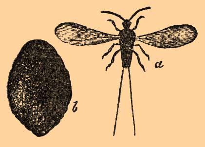 как выглядит насекомое кошениль