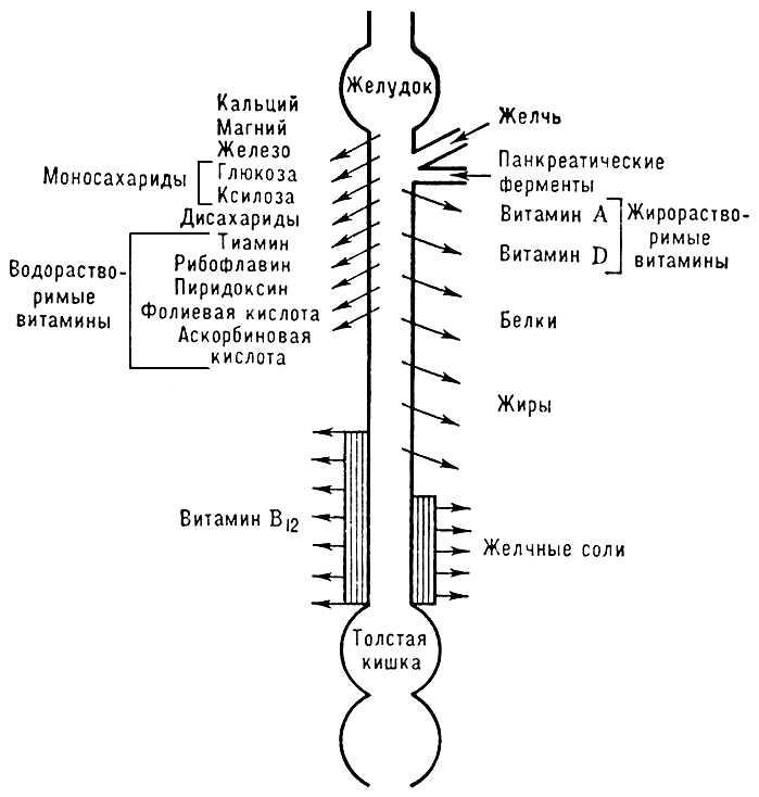 Полуобезьян и. Рис. 3. Схема распределения пищеварительных и
