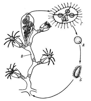 Жизненный цикл гидроида из