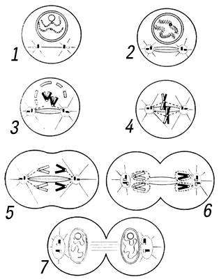 Схема митоза: 1, 2 — профаза;