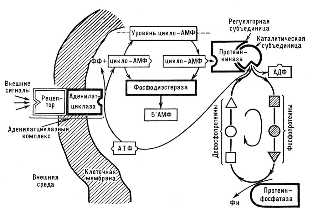 Схема механизма действия цАМФ
