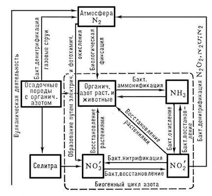 Схема круговорота азота.