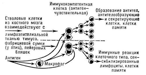 Введение в иммунологию доклад
