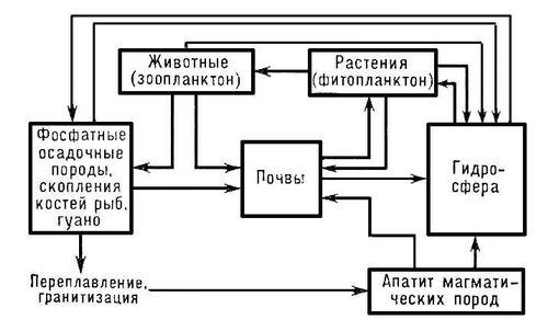 Схема круговорота фосфора.