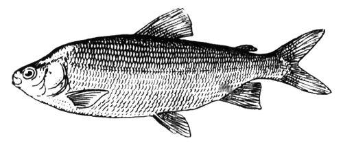 Рыба чир или щокур: описание, обитание, питание, нерест, ловля и ... | 208x500
