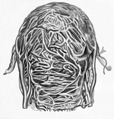 Сосудистая система беременной матки. II Бере?менность у животных