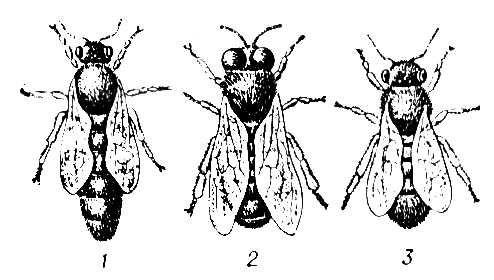 Схема. Особи пчелиной семьи.
