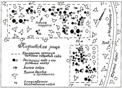 кедра в Катаевской роще.
