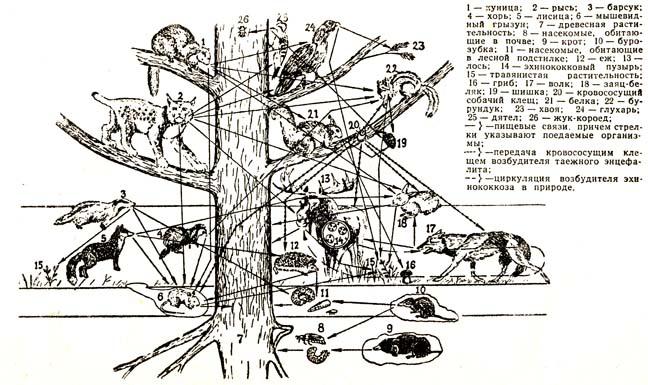 Схема питания тайги 4 класс