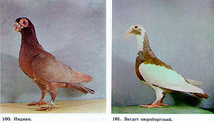 голуби азии фото